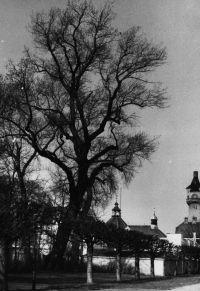 Tak jedno z najstarszych drzew w Parku Południowym wyglądało kilkadziesiąt lat temu.