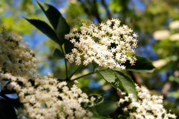 Czarny bez, powszechnie występujący na terenach zielonych, ma coraz więcej wielbicieli. Jedni zachwycają się smakiem, inni właściwościami, ale wszyscy zgodnie twierdzą, że jest to roślina na którą warto czekać cały rok.