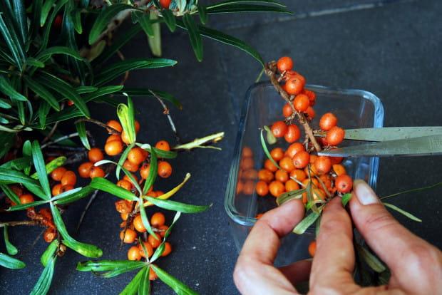 Jednym z najskuteczniejszych i najprostszych sposobów na obranie i zachowanie owoców rokitnika w całości to użycie nożyczek.