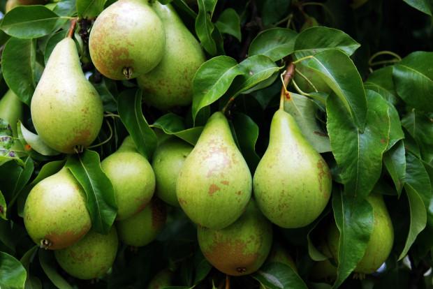 Gruszki wciąż są jednym z ulubionych sezonowych owoców Polaków. Swą popularność zawdzięczają smakowi, łatwej dostępności, przystępnej cenie, możliwościom wykorzystania i zastosowania w kuchni oraz sporym właściwościom odżywczym.
