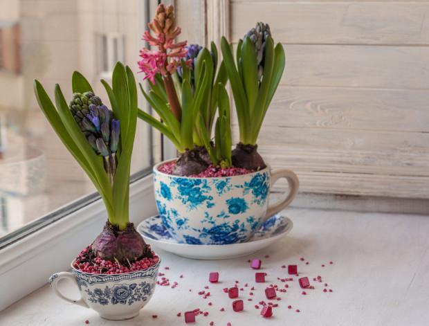Hiacynt w czasie kwitnienia nie potrzebuje bardzo dobrych warunków glebowych. Cebulę z kwiatostanem można przesadzić nawet do bardzo małego naczynia.