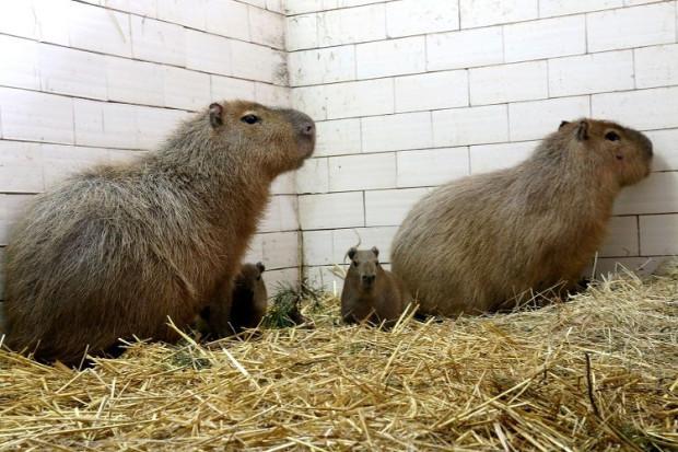 Kapibarza rodzinka w gdańskim zoo: Bajzel, Ruda i dwa bezimienne dotąd maleństwa.