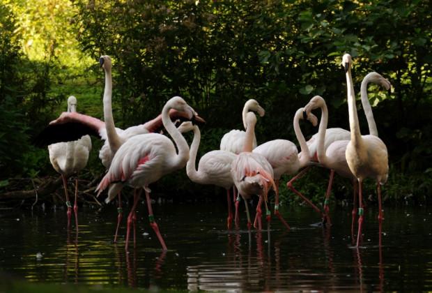 W najbliższych latach flamingi z gdańskiego ogrodu czeka przeprowadzka do nowego pawilonu.