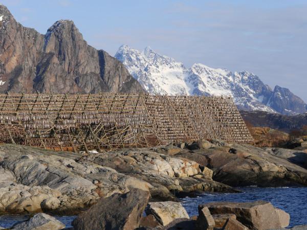Na Lofotach - gdzie łowi się skrei - dorsza suszy się także na świeżym powietrzu (sztokfisz), w niskiej temperaturze. Drewniane konstrukcje, na żerdziach których wiszą tysiące ryb, stanowią integralny element tutejszego krajobrazu.