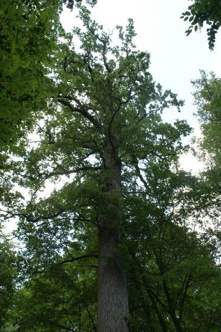 Imię Hugona Conwentza nosi od 2009 r. rosnący w Puszczy Białowieskiej kilkusetletni dąb, o wysokości ponad 36 m i obwodzie u podstawy przekraczającym 8 m.