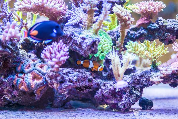 - Utrzymanie akwarium morskiego, szczególnie z sps'ami, czyli koralowcami twardymi, wymaga dużej wiedzy. Codziennie obserwuję zbiornik, przyglądam się np. jak korale polipują, jak zachowują się ryby. Na każdą nieprawidłowość trzeba reagować bardzo szybko, bo biotop morski jest niezwykle wrażliwy - mówi akwarysta z Gdyni.