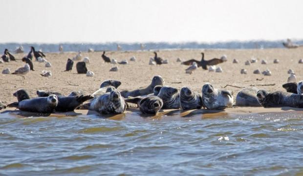 W rezerwacie Mewia Łacha można obserwować m.in. unikalne ptaki wodne przylatujące na lęgi oraz foki szare.