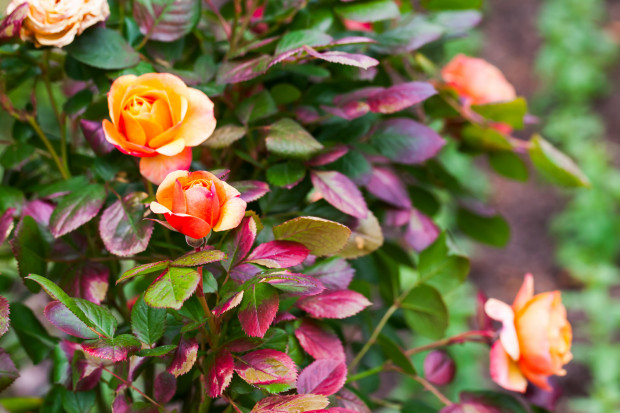 Każdy gatunek charakteryzuje się innym wybarwieniem kwiatu lub liści.