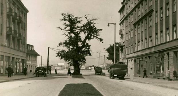 Historyczny dąb, który na ul. Portowej w Gdyni rósł na pewno do końcówki lat 30. XX wieku.