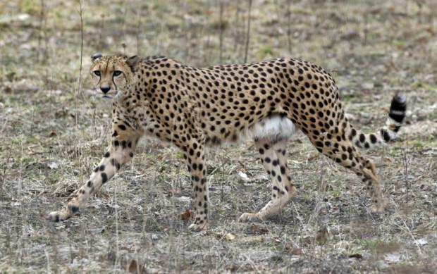 Gepardy to najszybsze zwierzęta na lądzie. Mogą biec z prędkością 100 km/godz., a nawet szybciej.