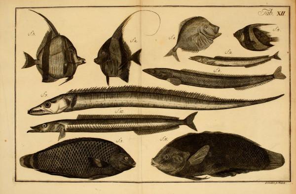 """Jedna z plansz """"Naturalnej historii ryb"""" autorstwa Jakuba Teodora Kleina."""