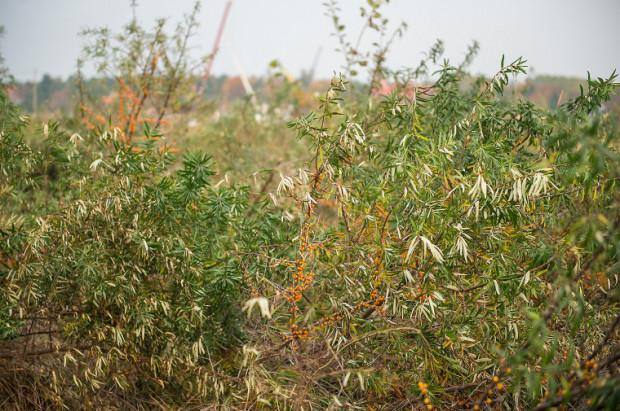 Rokitnik rośnie w wielu miejscach w Trójmieście. Zbierać go na domowe przetwory można m.in. na Wyspie Sobieszewskiej.