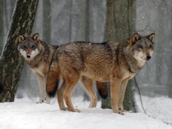 Wilki polują m.in. na sarny, dziki i jelenie. Zdjęcie poglądowe.