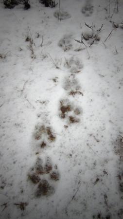 Tropy wilka. Zdjęcie poglądowe.