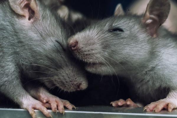Szczury przenoszą niebezpieczne choroby, dlatego trzeba ograniczać ich populację.