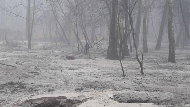 Lasy na Stogach od lat są plądrowane przez bursztyniarzy.