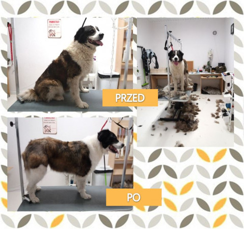 Regularne wizyty u groomera wpływają na kondycję szaty zwierzęcia.