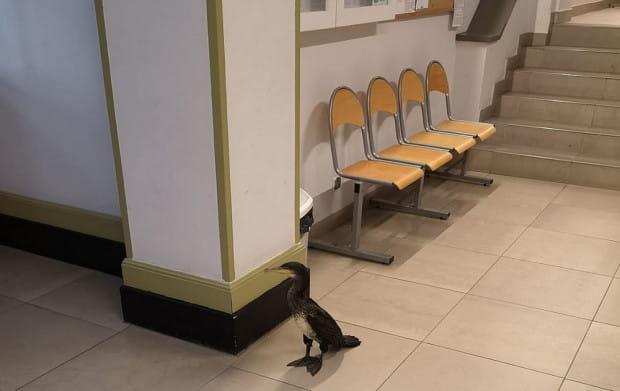 Skrzydlaty pacjent był bardzo kulturalny. Nie wciskał się w kolejkę i na nic się nie uskarżał.