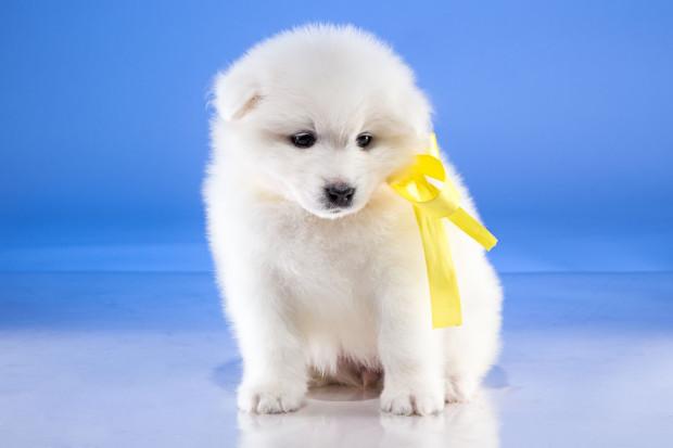 Dzięki żółtej wstążce przekazujemy również innym osobom wiadomość, że nasz pies nie jest gotowy na powitanie i kontakt.