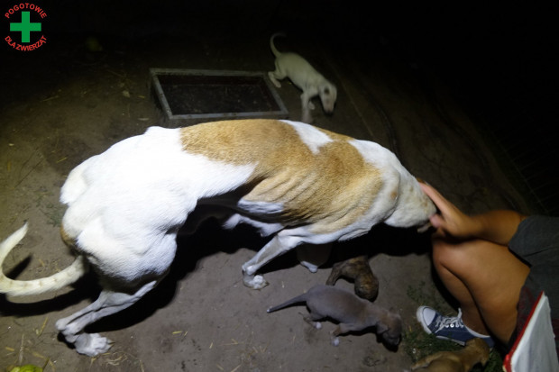 Suczka była skrajnie wychudzona, z widocznymi guzami biodrowymi, a szczeniaki były zarobaczone.