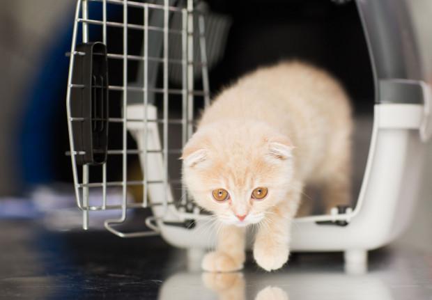 Pozwól kotu oswoić się z transporterem i poczekaj, aż sam do niego wejdzie.