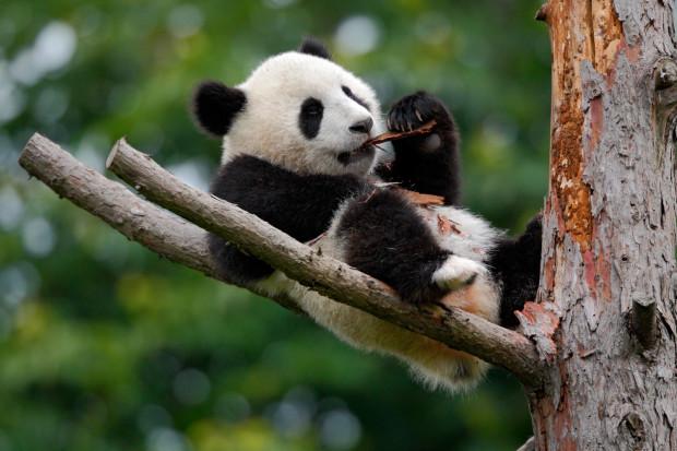 Zoo planuje sprowadzenie pandy z Chin.