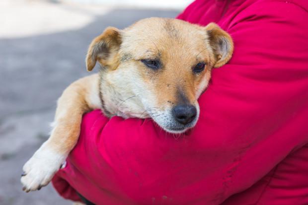 Zabezpieczenie psa przed udziałem w wypadku to przede wszystkim sprawowanie nad nim należytej kontroli - nauczenie go niezawodnego wracania na wołanie oraz trzymanie go na smyczy w każdym miejscu niedaleko od ulicy.