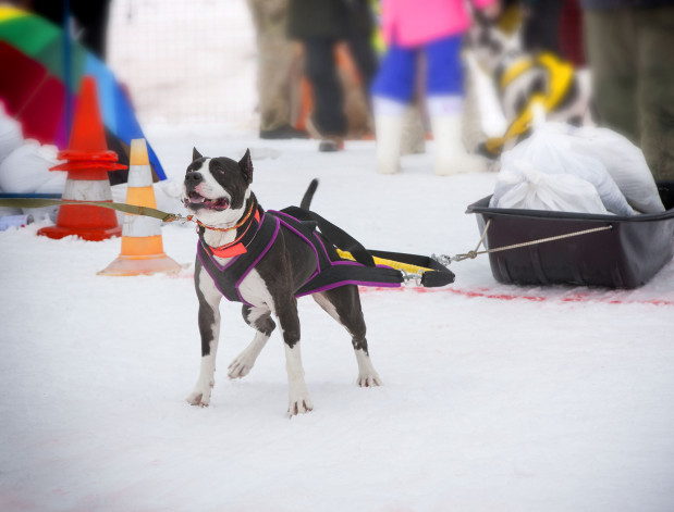 Psy TTB posiadają predyspozycje do zawodów sportowych m.in. w przeciąganiu się liną, skoku w dal czy ciągnięciu ciężarów.