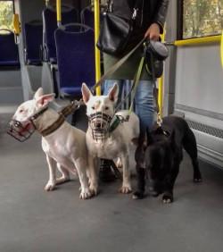 Właściciele psów w typie bullowatych często muszą mierzyć się ze stereotypowymi opiniami przechodniów.