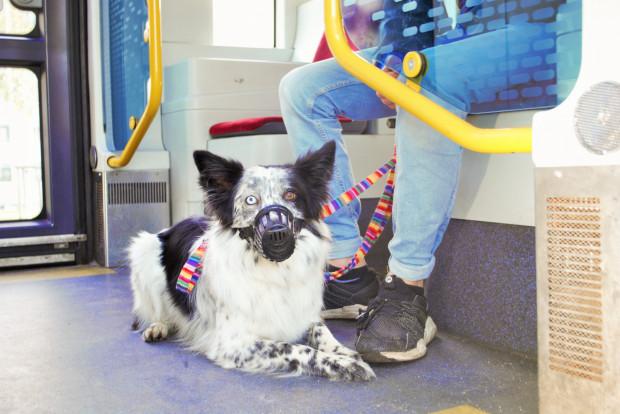 Podróże z psem mogą być szczególnie problematyczne w godzinach komunikacyjnego szczytu.