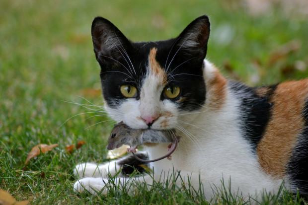 Kot domowy to drapieżnik, który odpowiada za wyginięcie ponad 30 gatunków zwierząt.