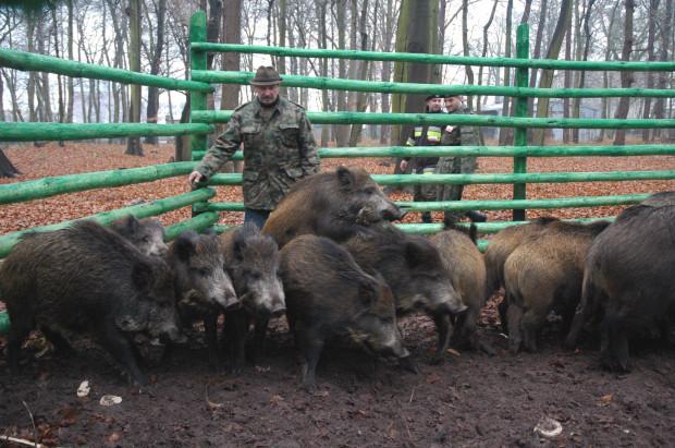 W odłowniach bez problemu można wyłapywać całe stada dzików.