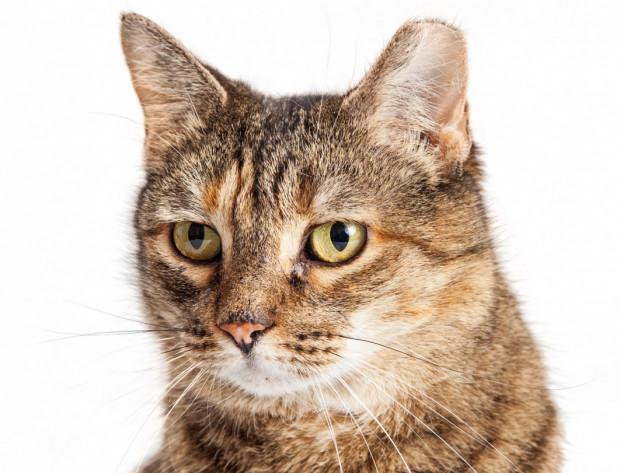 Ścięty czubek lewego lub prawego ucha oznacza, że kot przebył zabieg sterylizacji lub kastracji i absolutnie nie ma konieczności ponownego go odławiania.