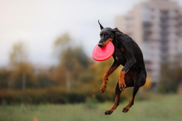 Psy mają wrodzony instynkt pogoni za uciekającymi obiektami - warto to wykorzystać w ich szkoleniu.
