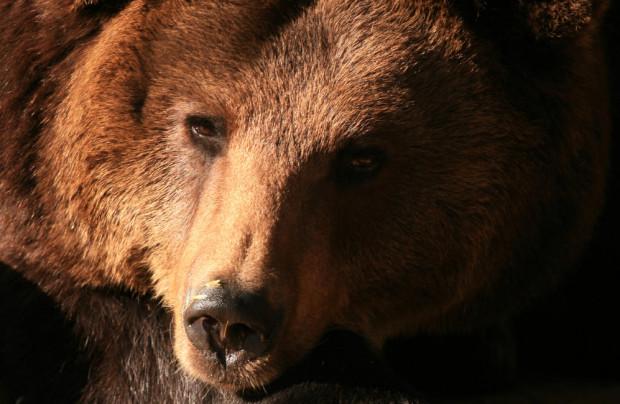 Niedźwiedzica Cytra miała 43 lata i zaliczała się do najstarszych zwierząt w gdańskim zoo.
