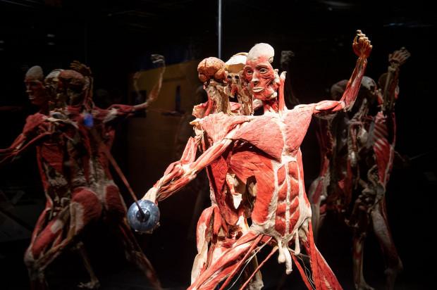 Na wystawie Body Worlds prezentowanych jest 160 eksponatów, wykonanych z poddanych plastynacji ludzkich ciał. Pochodzą one od osób, które zapisały swoje ciała Instytutowi Plastynacji z Heidelbergu.