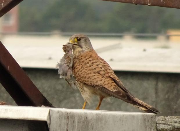 Pustułka to niewielki ptak drapieżny z rodziny sokołowatych, który dobrze czuje się na terenie miasta.