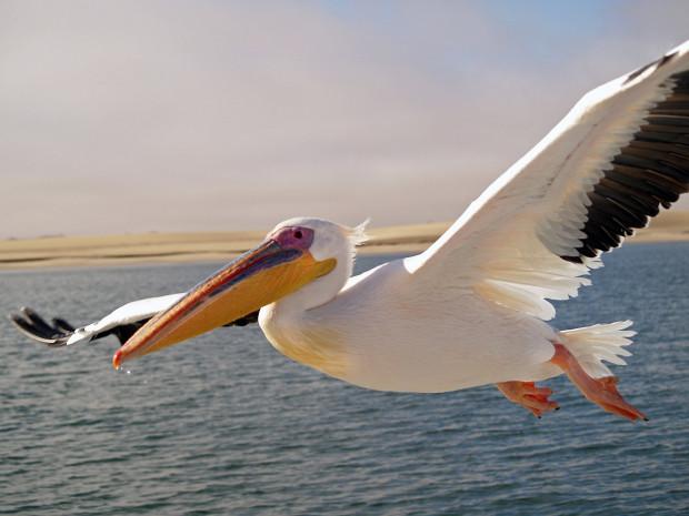 W zaplanowanych budynkach zamieszkają przede wszystkim różnego rodzaju ptaki, które można spotkać w Afryce. Jednym z gatunków będzie widoczny na zdjęciu pelikan różowy.