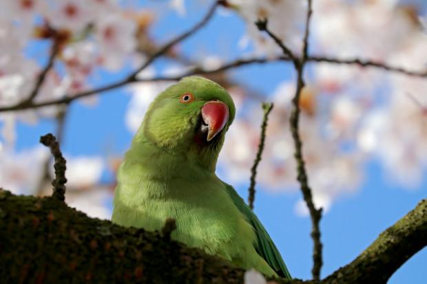 Aleksandretta obrożna to duża, hałaśliwa papuga, która cieszy oko swoimi barwami.