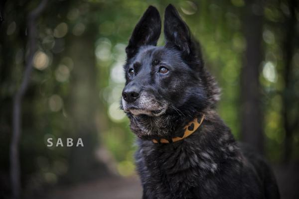 Saba gaśnie w schronisku po śmierci swojego przyjaciela. Pilnie szuka domu, który wypełni pustkę i zaopiekuje się suczką.