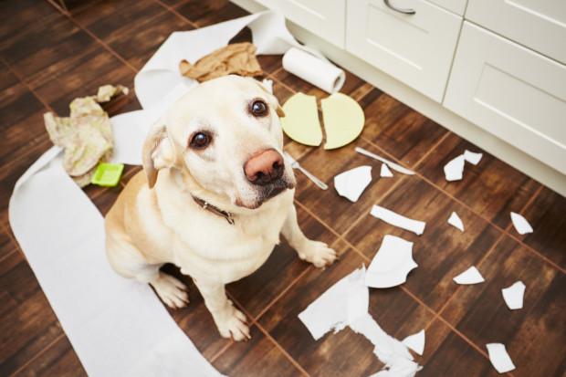 """Pies sam w domu potrafi się nudzić albo tęsknić, a to czasem prowadzi do takich """"obrazków"""". Jak temu zaradzić?"""