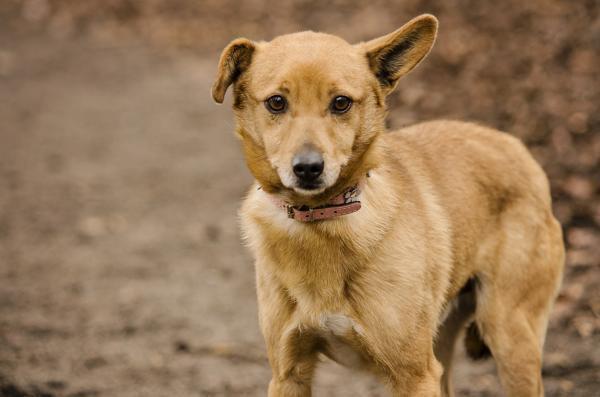Kubuś to pies z ogromnym potencjałem, w szybkim czasie może stać się przytulakowym przyjacielem swojego opiekuna, wymaga tylko trochę pracy.