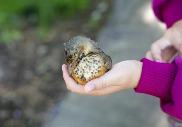 Ptak, który zderzył się z szybą, może wymagać pomocy weterynaryjnej.