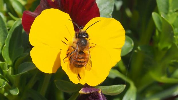 Stwórzmy na balkonie lub w ogrodzie przyjazną owadom przestrzeń. Zrobimy dla nich coś dobrego oraz sami otoczymy się pięknymi kwiatami.